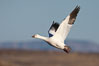 Snow goose in flight. Bosque del Apache National Wildlife Refuge, Socorro, New Mexico, USA. Image #21801