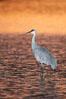 A sandhill crane, standing in still waters with rich gold sunset light reflected around it. Bosque del Apache National Wildlife Refuge, Socorro, New Mexico, USA. Image #21805