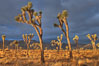 Sunrise in Joshua Tree National Park. Joshua Tree National Park, California, USA. Image #22101