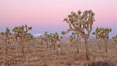 Joshua Trees in early morning light. Joshua Tree National Park, California, USA. Image #22112