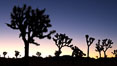 Joshua Trees silhouetted against predawn sunrise light. Joshua Tree National Park, Joshua Tree National Park, California, USA. Image #22115