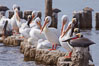 White pelicans and brown pelicans stand together on salt-encrusted pier pilings on the Salton Sea. Salton Sea, Imperial County, California, USA. Image #22502