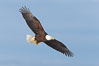 Bald eagle in flight, wing spread, soaring. Kachemak Bay, Homer, Alaska, USA. Image #22581