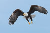 Bald eagle in flight, wing spread, aloft, soaring. Kachemak Bay, Homer, Alaska, USA. Image #22585