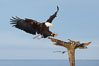 Bald eagle in flight, spreads its wings wide to slow before landing on a wooden perch. Kachemak Bay, Homer, Alaska, USA. Image #22587