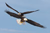 Two bald eagles in flight, wings spread, soaring, aloft. Kachemak Bay, Homer, Alaska, USA. Image #22590