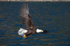 Bald eagle in flight drips water as it carries a fish in its talons that it has just pulled from the water. Kenai Peninsula, Alaska, USA. Image #22621