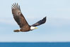 Bald eagle in flight, wings raised, Kachemak Bay in the background. Homer, Alaska, USA. Image #22624