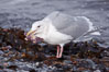 Glaucous-winged gull, eating a starfish (sea star) at the water's edge. Kachemak Bay, Homer, Alaska, USA. Image #22886