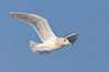 Glaucous-winged gull, in flight. Kachemak Bay, Homer, Alaska, USA. Image #22887