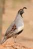 Gambel's quail, male. Amado, Arizona, USA. Image #22893