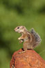 Harris' antelope squirrel. Amado, Arizona, USA. Image #22900