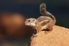 Harris' antelope squirrel. Amado, Arizona, USA. Image #22905
