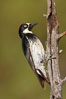 Acorn woodpecker, female. Madera Canyon Recreation Area, Green Valley, Arizona, USA. Image #22906