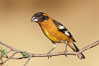 Black-headed grosbeak, male. Madera Canyon Recreation Area, Green Valley, Arizona, USA. Image #22911