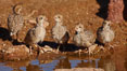 Gambel's quail, chicks. Amado, Arizona, USA. Image #22914