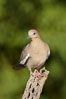 White-winged dove. Amado, Arizona, USA. Image #22918