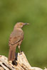 Curve-billed thrasher. Amado, Arizona, USA. Image #22921