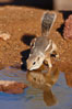 Harris' antelope squirrel. Amado, Arizona, USA. Image #22922