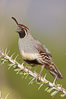 Gambel's quail, male. Amado, Arizona, USA. Image #22925