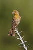 House finch, immature. Amado, Arizona, USA. Image #22926