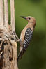 Gila woodpecker, female. Amado, Arizona, USA. Image #22928
