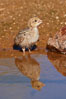 Gambel's quail, chicks. Amado, Arizona, USA. Image #22931