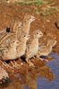 Gambel's quail, chicks. Amado, Arizona, USA. Image #22938