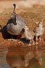 Gambel's quail, chicks and female. Amado, Arizona, USA. Image #22939
