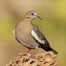 White-winged dove. Amado, Arizona, USA. Image #22947