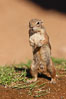 Harris' antelope squirrel. Amado, Arizona, USA. Image #22949