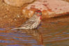 House finch, male. Amado, Arizona, USA. Image #22951