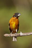 Black-headed grosbeak, male. Madera Canyon Recreation Area, Green Valley, Arizona, USA. Image #22958