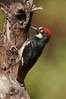 Acorn woodpecker, male. Madera Canyon Recreation Area, Green Valley, Arizona, USA. Image #22961