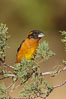 Black-headed grosbeak, male. Madera Canyon Recreation Area, Green Valley, Arizona, USA. Image #22962