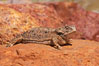 Horned lizard.  When threatened, the horned lizard can squirt blood from its eye at an attacker up to 5 feet away. Amado, Arizona, USA. Image #22973