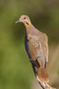 White-winged dove. Amado, Arizona, USA. Image #22979