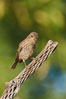 House finch, female. Amado, Arizona, USA. Image #22984