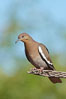 White-winged dove. Amado, Arizona, USA. Image #22989