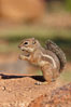 Harris' antelope squirrel. Amado, Arizona, USA. Image #22995