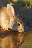 Desert cottontail, or Audubon's cottontail rabbit. Amado, Arizona, USA. Image #23002