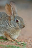 Desert cottontail, or Audubon's cottontail rabbit. Amado, Arizona, USA. Image #23004