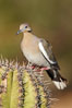 White-winged dove. Amado, Arizona, USA. Image #23015
