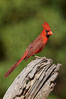 Northern cardinal, male. Amado, Arizona, USA. Image #23021