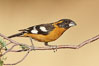 Black-headed grosbeak, male. Madera Canyon Recreation Area, Green Valley, Arizona, USA. Image #23024