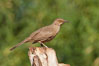 Curve-billed thrasher. Amado, Arizona, USA. Image #23030