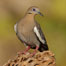 White-winged dove. Amado, Arizona, USA. Image #23033