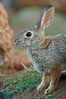 Desert cottontail, or Audubon's cottontail rabbit. Amado, Arizona, USA. Image #23036
