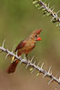 Northern cardinal, female. Amado, Arizona, USA. Image #23045