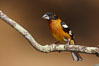 Black-headed grosbeak, male. Madera Canyon Recreation Area, Green Valley, Arizona, USA. Image #23047